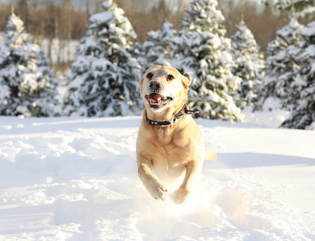 golden dog runnin towards the camera, tree farm, snow covered trees, snow flying.