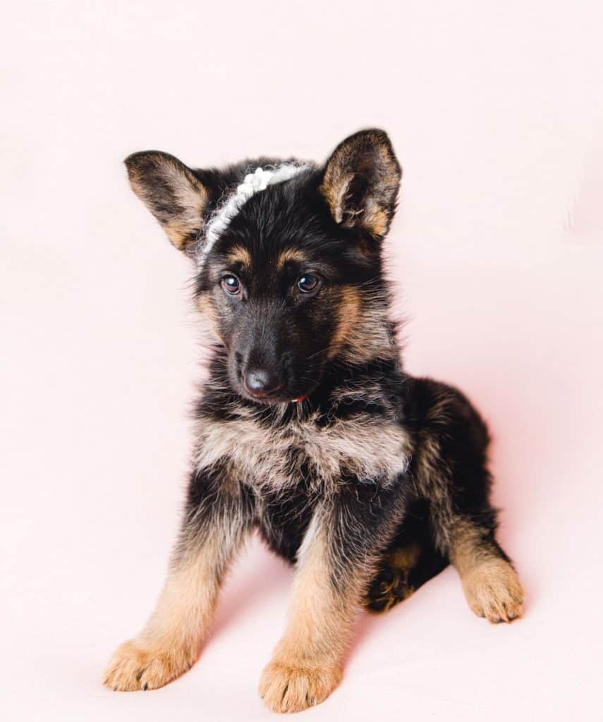 New german shepherd puppy looking at the camera
