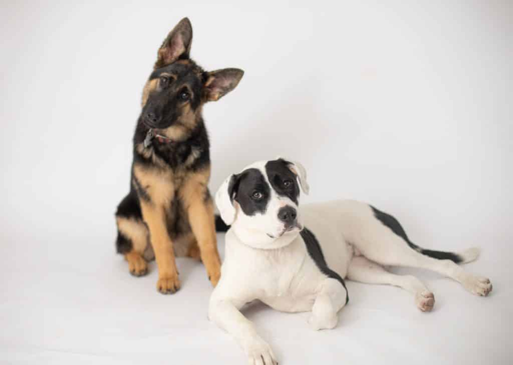 German Shepherd and pitbull looking at the camera doing a head tilt