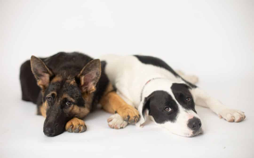 german shepherd and pitbull laying down with paws on each other
