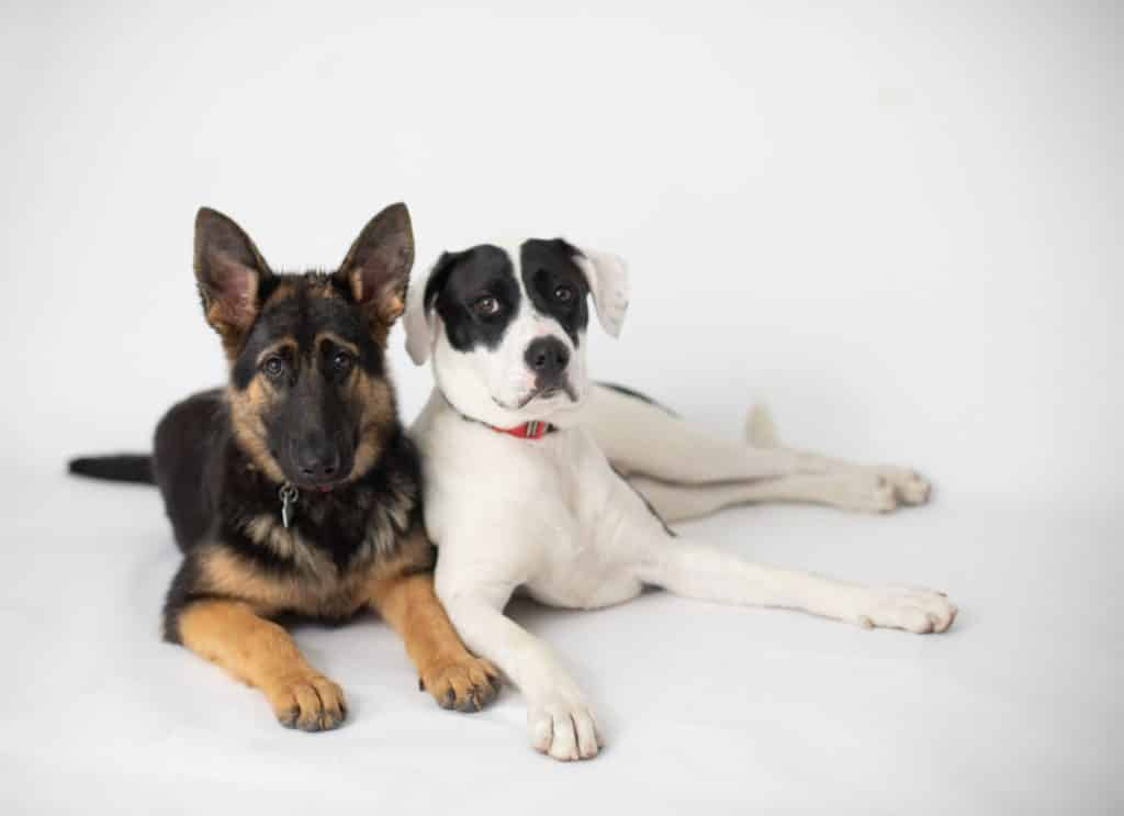 german shepherd and pitbull looking at camera sitting next to each other
