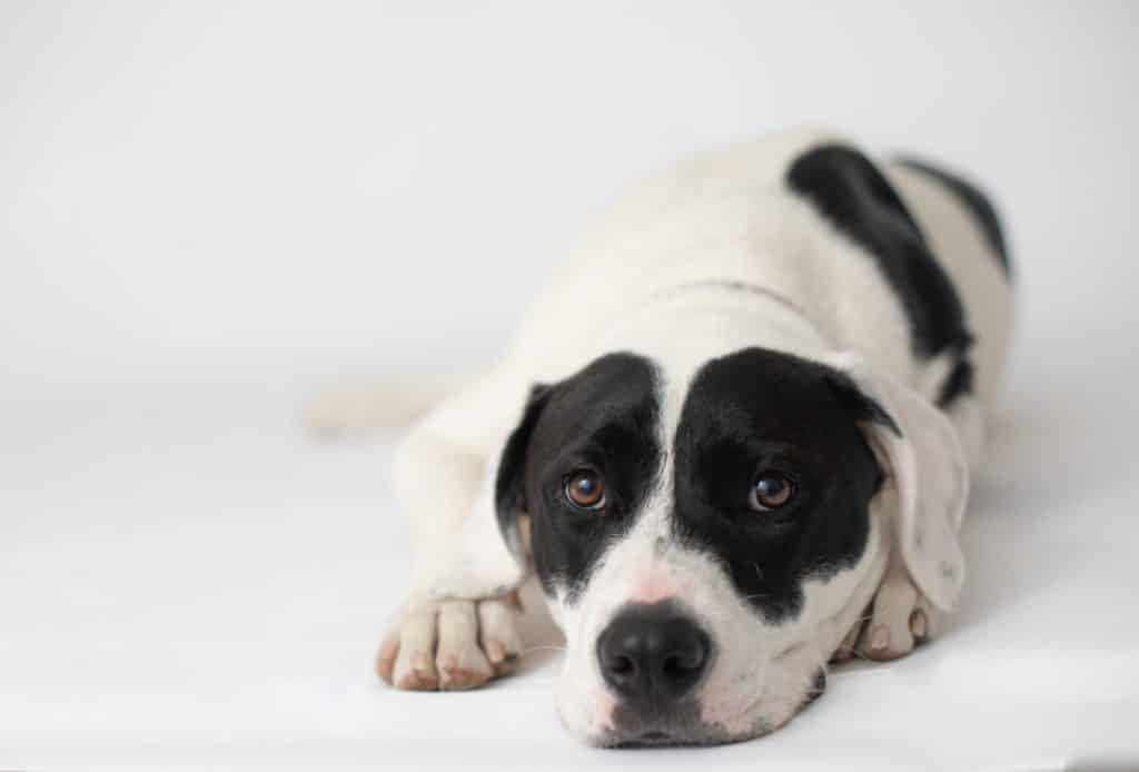 White and black spotted Pitbull looking at the camera