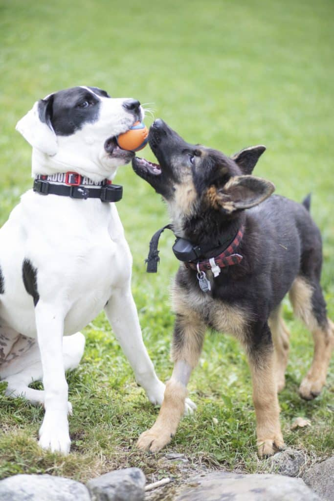 pitbull and german shepherd playing with a ball outside.