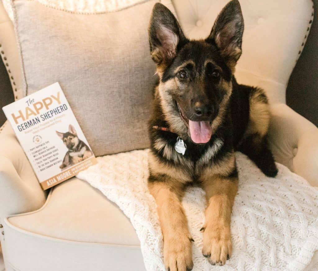 german shepherd looking at the camera sitting on a chair